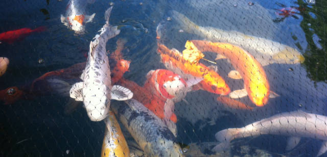 Koi Carp Pond Construction in Lancashire